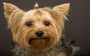 Picture look, face, wool, Yorkshire Terrier