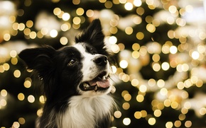 Picture holiday, lights garland, TerkaLoty, Bordercollie