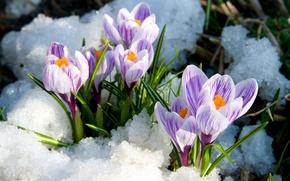Picture snow, spring, crocuses