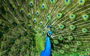 Picture color, beauty, peacock, color