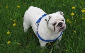Picture dogs, bulldog, English