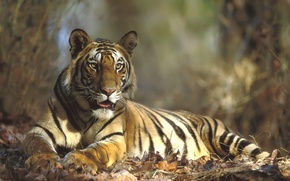 Wallpaper portrait, tiger, the year of the tiger