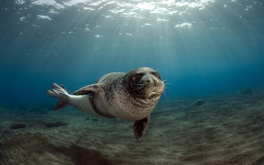 Picture Portugal, male, Monk seal (Monachus monachus, the archipelago of Madeira (Madeira), July 26, 2009, Deserted …