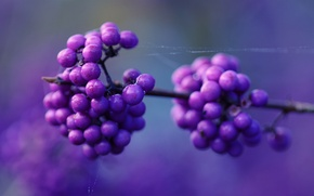 Picture macro, berries, web, lilac berries