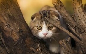 Picture cat, look, kitty, tree, muzzle, Scottish fold