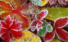 Picture frost, leaves, macro, yellow, red, green, photo, color, frost