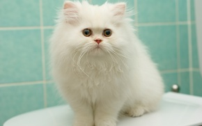 Wallpaper white, fluffy, pers, kitty