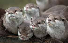 Wallpaper family, otters, faces, look