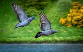 Picture grass, flight, lake, pigeons