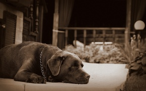 Wallpaper sleep, dog, Peter, dog