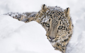 Picture predator, snow, snow leopard, Peeps, the snow, winter, face, snow leopard, IRBIS, zoo, cub, wild ...