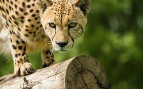 Picture cat, look, Cheetah, log