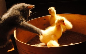 Picture black background, ducklings, pussies, played, grey kitten, sieve