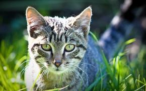 Picture grass, eyes, cat, Wallpaper, photographer ann_ann