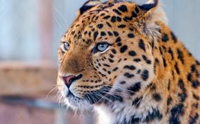 Picture mustache, look, face, leopard, far East, amur leopard