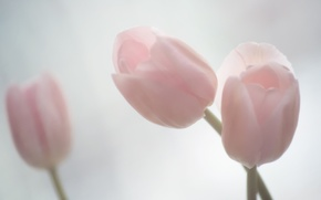Wallpaper tenderness, tulips, pink