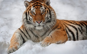 Picture look, snow, tiger, interest, lies, striped, looks, handsome