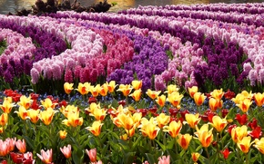 Picture Hyacinths, Park, Tulips, photo, Flowers, A lot