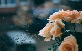 Picture autumn, overcast, rain, roses, sadness, Rose, reverie, window, reflection, sadness