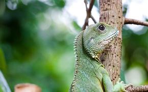 Picture look, tree, Lizard, profile, green, iguana