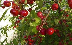 Picture leaves, cherry, berries, garden, cherry