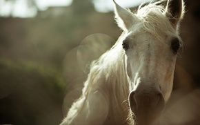 Picture face, background, horse, horse, blur, mane
