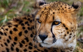 Picture look, Cheetah, beast