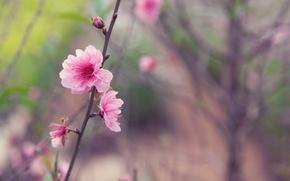 Picture flower, macro, sprig, tree, pink, tenderness, focus, spring, Japan, blur, Sakura, buds