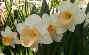Picture flowers, widescreen, Wallpaper, spring, wallpaper, widescreen, background, daffodils, the Wallpapers, full screen, HD wallpapers, widescreen, …