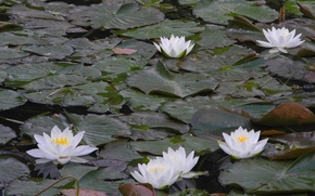 Picture lake, leaves, the lake, water lilies, the leaves of water lilies