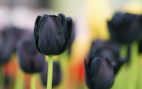 Picture macro, background, black Tulip