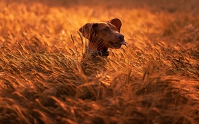 Picture field, nature, animal, dog, head, ears, dog