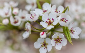 Wallpaper leaves, flowers, nature, pear, white petals
