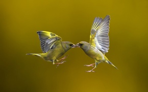 Picture birds, background, flight, Flying Kiss