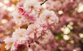 Picture flowers, macro, branch, nature, Sakura, leaves, bokeh, flowering, pink, spring