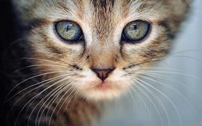 Picture cat, cat, mustache, look, macro, kitty, animal, cat