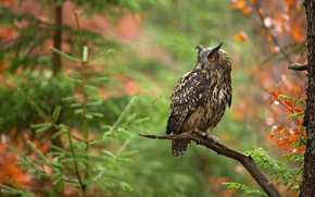 Picture autumn, forest, trees, branches, owl, bird, branch