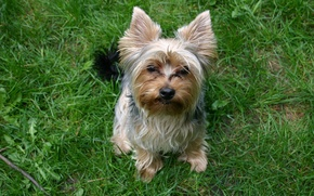 Picture grass, girl, Yorkie