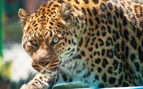 Picture look, face, predator, leopard, leopard, sneaks