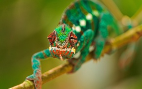 Picture eyes, green, chameleon, branch