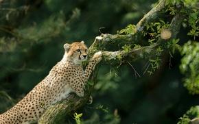 Picture tree, Cheetah, wild cat