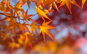 Picture autumn, leaves, branch, maple