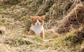 Picture field, cat, nature