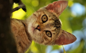 Picture cat, summer, cat, face, tree, foliage, head, Kote