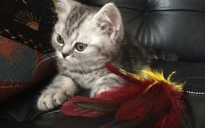 Picture cat, cat, kitty, plays, British, British
