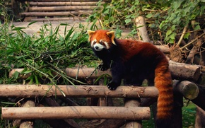 Wallpaper Panda, firefox, red, zoo