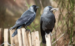 Picture birds, the fence, wool, jackdaw