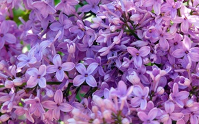 Picture purple, green, spring, purple, lilac
