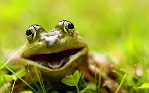 Wallpaper macro, frog, nature