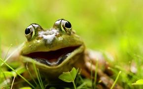 Wallpaper macro, frog, nature